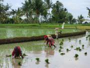 Reisplantage-in-Indonesien